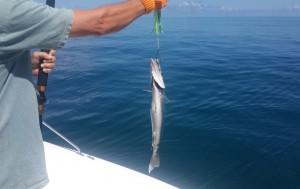 Barracuda we released